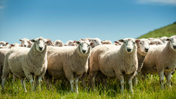 Innovis Breeding Sheep :: Aberdale