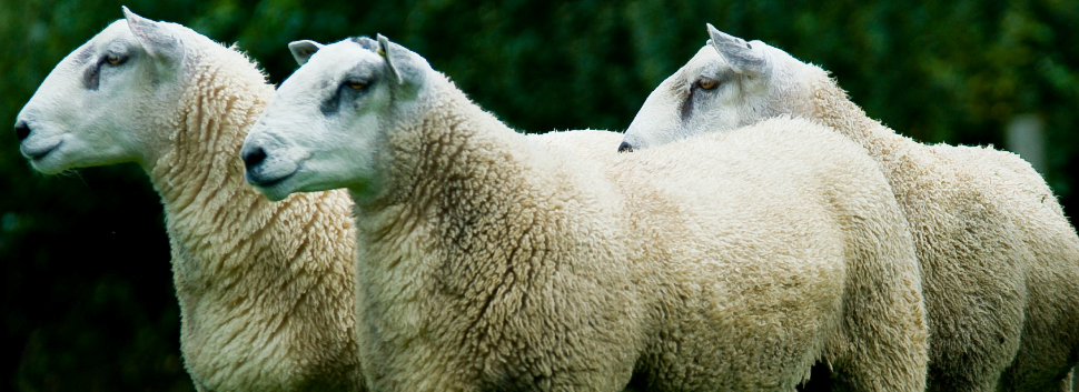 Aberfield Rams for FG.jpg