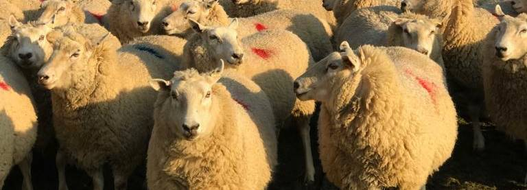 sheeps for crossbred females page.jpg